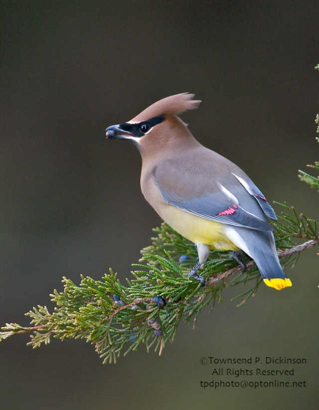 Cedar Waxwing, with Juniper berry, winter, migrant, Hamonassett SP, Madison, CT. ©Townsend P. Dickinson. All Rights Reserved.