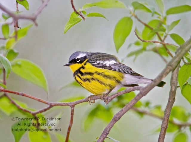 Magnolia Warbler, (Dendroica magnolia), male singing on spring migration, Crane Creek State Park, Ohio