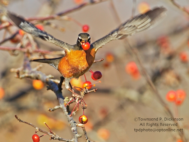 Robin with wings spread with Crabapple berry in mouth. ©Townsend P. Dickinson All Rights Reserved.