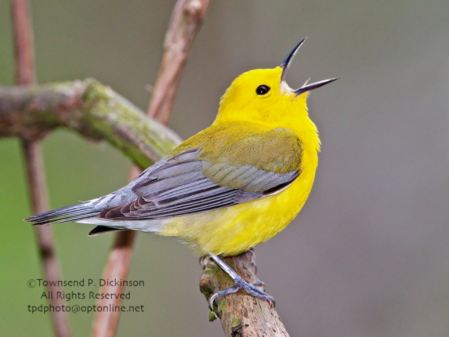 Prothonotory Warbler, male, singing in spring on territory, Crane Creek, Ohio. ©Townsend P. Dickinson. All Rights Reserved.