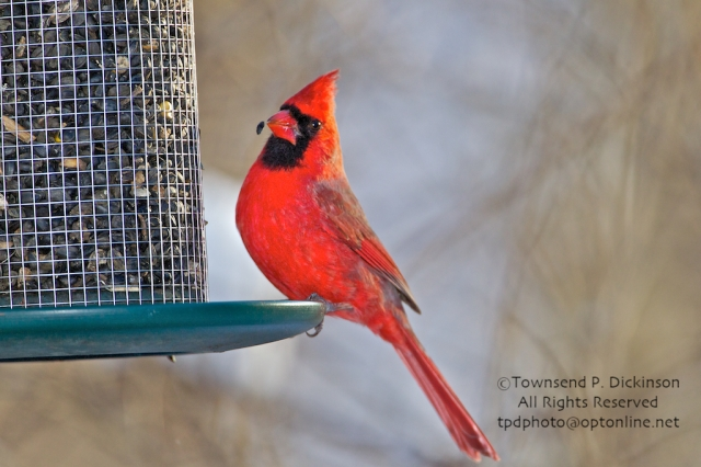 Northern Cardinal, winter, backyard, Sterling, CT ©Townsend P. Dickinson. All Rights Reserved.