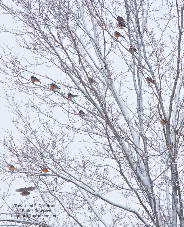 Flock of Robin's. Rresidental backyard. @Townsend P. Dickinson. All Rights Reserved.