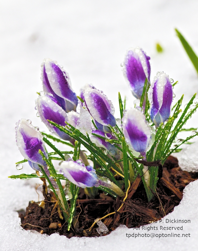 Crocus through Snow, Norwalk, CT. ©Townsend P. Dickinson. All Rights Reserved.