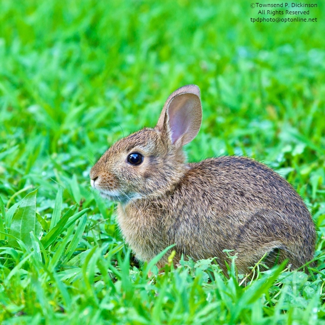 Cottontail Rabbit, juvenile, residental backyard. @Townsend P. Dickinson. All Rights Reserved. wwwkymrygroup.com