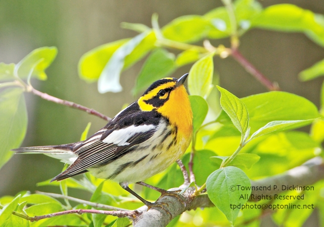 Blackburnian Warbler (Dendroica fusca) male, spring migrant, foraging in forest along Lake Erie, viewed from boardwalk at Magee Marsh Wildlife Area, Oak Harbor, Ohio. ©Townsend P. Dickinson. All Rights Reserved.