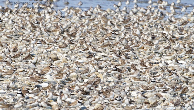 Large mixed flock of Sandpipers and Plovers roosting on sandbar, fall migrants, Long Island Sound, Milford Point, CT. Townsend P. Dickinson All Rights Reserved. tpdphoto@optonline.net
