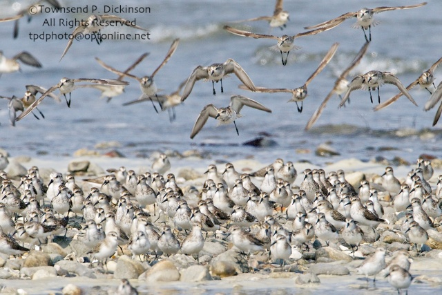 Mixed flock of Sandpipers and Sanderlings in flight over roost site on bar above tide line, fall migrants, Long Island Sound, Milford Point, CT. ©Townsend P. Dickinson All Rights Reserved.