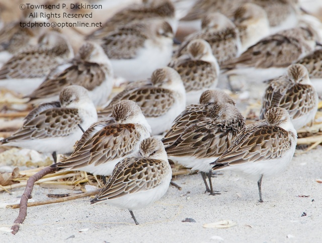 Sandpipers at rest, fall migrant, intertidal zone, Long Island Sound, Milford Point, CT. ©Townsend P. Dickinson All Rights Reserved.