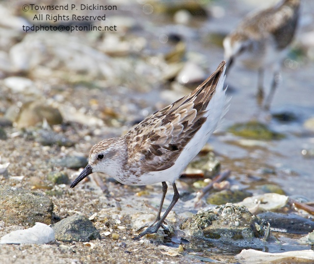 Semipalmated Sandpiper, adult, molting, fall migrant, aggressive posture defending foraging area, intertidal zone, Long Island Sound, Milford Point, CT. ©Townsend P. Dickinson All Rights Reserved.
