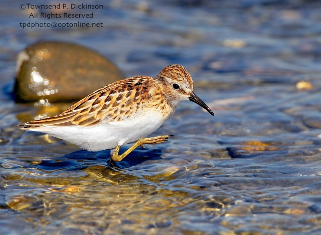 Least Sandpiper, juvenile plumage, foraging, fall migration, late summer, Milford Point, Milford, CT. ©Townsend P. Dickinson. All Rights Reserved.