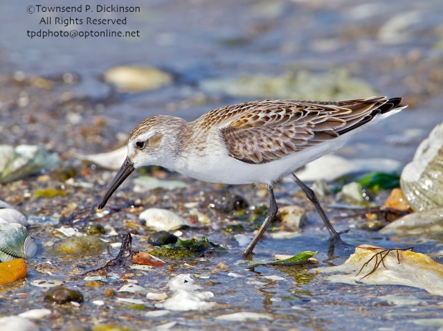 Western Sandpiper, juvenile plumage, foraging, fall migration, late summer, Milford Point, Milford, CT. ©Townsend P. Dickinson. All Rights Reserved.