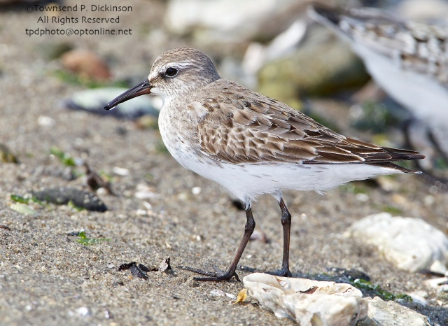 White-rumped Sandpiper, molting adult plumage, fall migrant, intertidal zone, Long Island Sound, Milford Point, CT. ©Townsend P. Dickinson. All Rights Reserved.