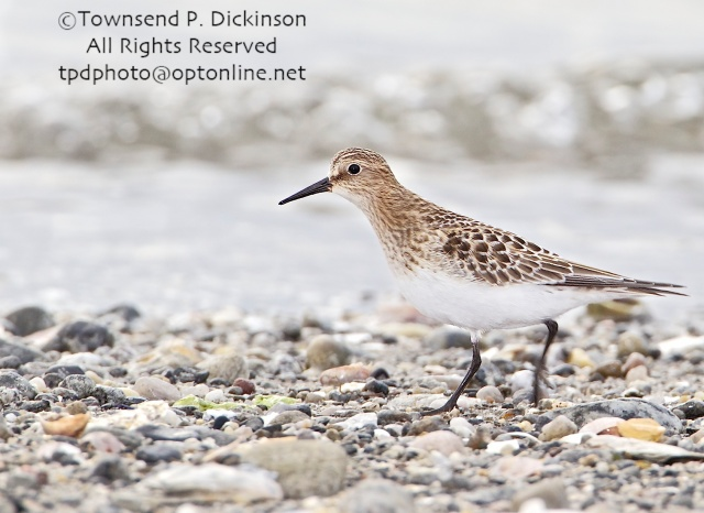 Baird's Sandpiper, adult, molting, fall migrant,  foraging above intertidal zone, Long Island Sound, Milford Point, CT. ©Townsend P. Dickinson. All Rights Reserved.