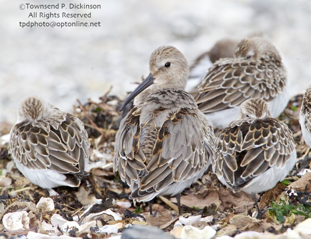 Dunlin, bill visible, roosting among  Sandpipers, fall migrants, intertidal zone, Long Island Sound, Milford Point, CT. ©Townsend P. Dickinson. All Rights Reserved.