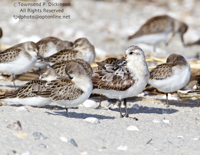 Sandlerling, fall migrant with Sandpipers at roost, Milford Point, CT ©Townsend P. Dickinson. All Rights Reserved.
