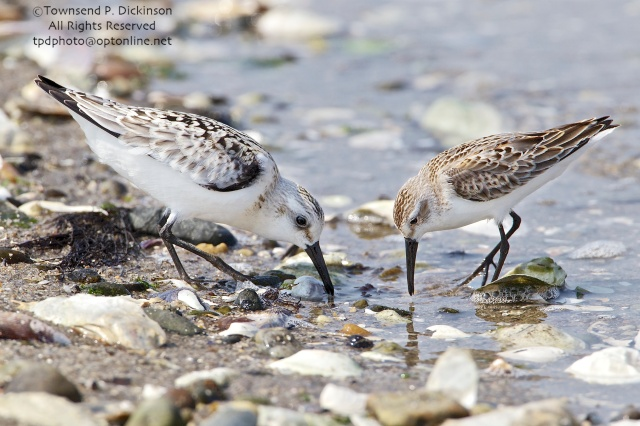 Sanderling (l.) and Western Sandpiper (r.), foraging on fall migration, late summer, Milford Point, Milford, CT. ©Townsend P. Dickinson. All Rights Reserved.