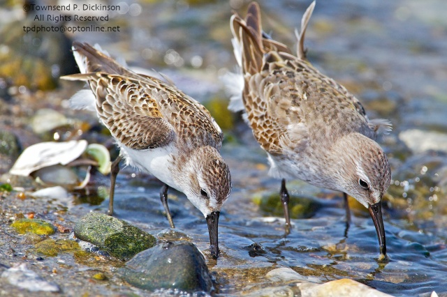 Western Sandpiper (l.) and White-rumped Sandpiper (r.), foraging on fall migration, late summer, Milford Point, Milford, CT. ©Townsend P. Dickinson. All Rights Reserved.