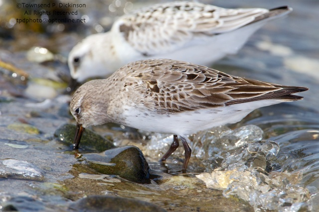 White-rumped Sandpiper, molting adult plumage, front, Sanderling rear, fall migrants, foraging, intertidal zone, Long Island Sound, Milford Point, CT. ©Townsend P. Dickinson. All Rights Reserved.