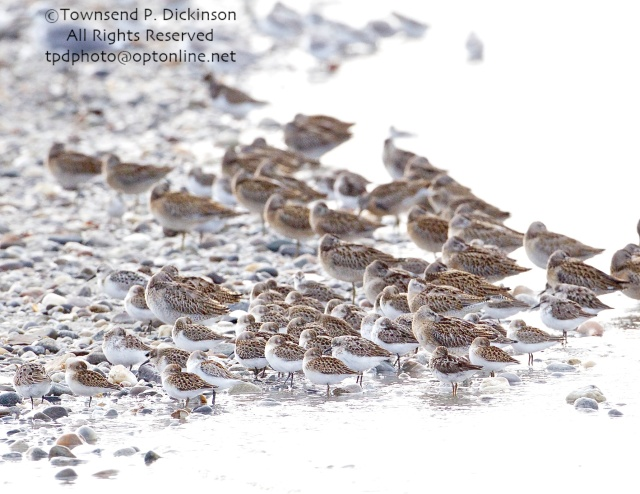Shorebirds, 6 mixed species, Ruddy Turnstone, Short-billed Dowitchers, Sanderling. Least, Semipalmated and Western Sandpipers roosting. fall migration, late summer, Milford Point, Milford, CT.©Townsend P. Dickinson. All Rights Reserved.