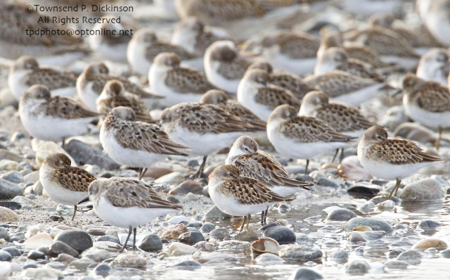 Least and Western Sandpipers center front, with Semipalmated Sandpipers, Short-billed Dowitchers in rear, roosting on fall migration, late summer, Milford Point, Milford, CT. ©Townsend P. Dickinson. All Rights Reserved.