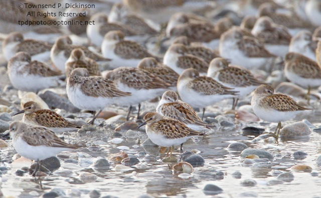 Semipalmated, Least (center front, with head up and bill visible) and Western Sandpipers, Short-billed Dowitchers in rear, roosting on fall migration, late summer, Milford Point, Milford, CT. ©Townsend P. Dickinson. All Rights Reserved.