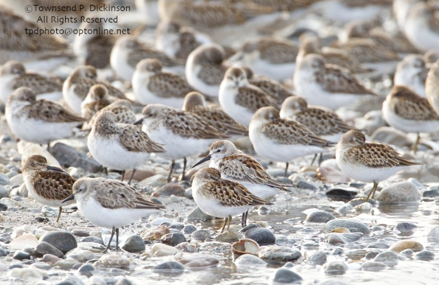 Semipalmated, Least and Western (center with head up and bill visible) Sandpipers, Short-billed Dowitchers in rear, roosting on fall migration, late summer, Milford Point, Milford, CT. ©Townsend P. Dickinson. All Rights Reserved.