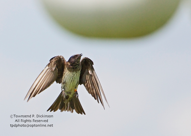 Purple Martin, female, returning to her nest gourd appears to have both red and yellow band. summer, Connecticut Audubon Society Coastal Center, Milford Point, CT. ©Townsend Dickinson. All Rights Reserved.