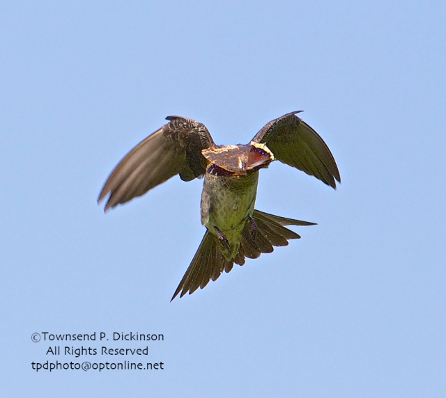 Purple Martin, female brings butterfly (possibly Morning Cloak) back to feed young in nest gourd, summer, Connecticut Audubon Society Coastal Center, Milford Point, CT. ©Townsend Dickinson. All Rights Reserved.