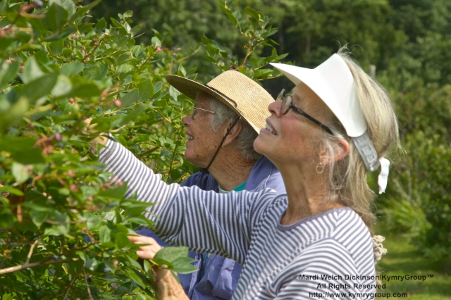 Front to back. Brenda Ungerland, Southport CT; Vidal Clay, Westport CT; Picking blueberries in the orchards at Aspetuck Land Trust property of Trout Brook Valley Preserve on August 1, 2013. ©Mardi Welch Dickinson/KymryGroup. All Rights Reserved.