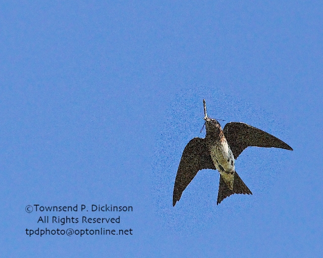 Purple Martin, female returns to nest to feed young with possible Great Blue Skimmer Dragonfly, summer, Connecticut Audubon Society Coastal Center, Milford Point, CT. ©Townsend Dickinson. All Rights Reserved.