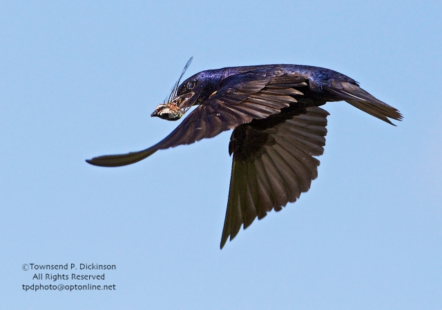 Purple Martin, male returns to nest to feed young with Annual Cicada, summer, Connecticut Audubon Society Coastal Center, Milford Point, CT. ©Townsend Dickinson. All Rights Reserved.