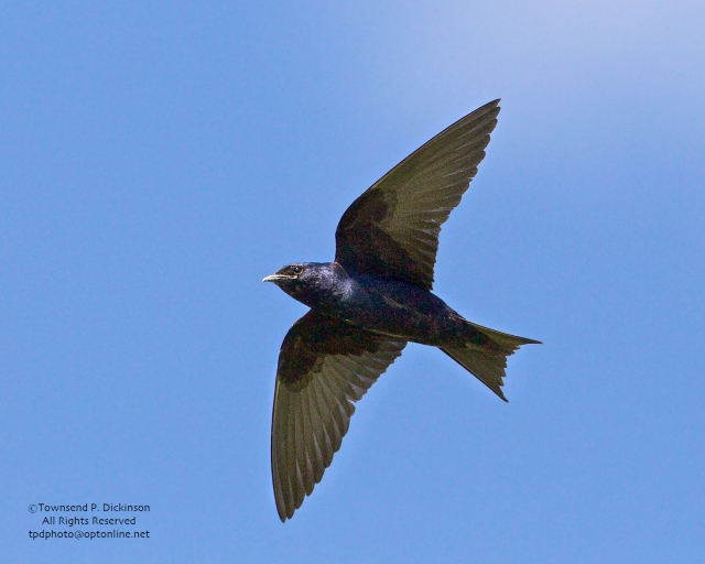 Purple Martin, male in flight near colony, summer,  Connecticut Audubon Society Coastal Center, Milford Point, CT. ©Townsend Dickinson. All Rights Reserved.