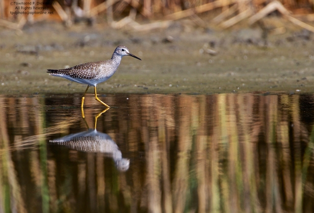 Lesser Yellowlegs, foraging, fall migrant, North End, East Pond, Jamaica Bay, NWR, Queens, NY. ©Townsend Dickinson P. Dickinson. All Rights Reserved.