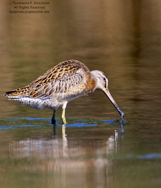 Short-billed Dowitcher, juvenile, foraging, with marine worm prey, fall migrant, North End, East Pond, Jamaica Bay, NWR, Queens, NY. ©Townsend P. Dickinson. All Rights Reserved.