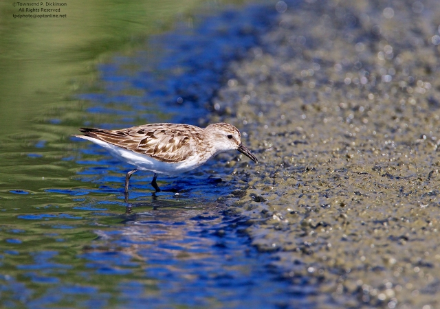 Semipalmated Sandpiper, juvenile, foraging on exposed flats, fall migrant, North End, East Pond, Jamaica Bay, NWR, Queens, NY. ©Townsend Dickinson P. Dickinson. All Rights Reserved.