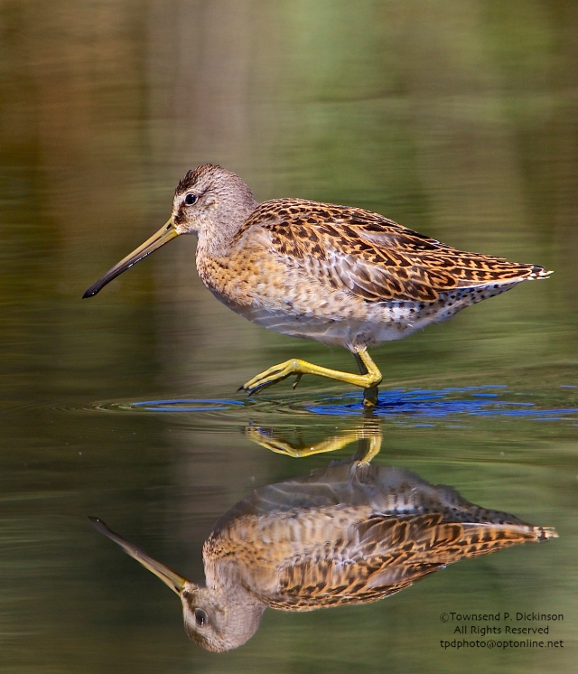 Short-billed Dowitcher, juvenile, foraging,  fall migrant, North End, East Pond, Jamaica Bay, NWR, Queens, NY ©Townsend Dickinson P. Dickinson. All Rights Reserved.