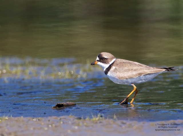 Semipalmated Plover, foraging on exposed flats, fall migrant, North End, East Pond, Jamaica Bay, NWR, Queens, NY. ©Townsend P. Dickinson. All Rights Reserved.