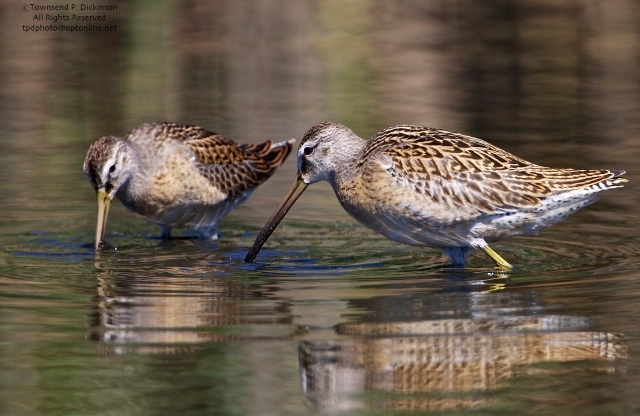 Short-billed Dowitchers, juvenile, foraging,  fall migrant, North End, East Pond, Jamaica Bay, NWR, Queens, NY. ©Townsend P. Dickinson. All Rights Reserved.