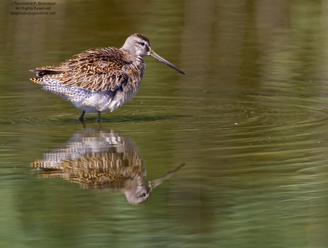 Short-billed Dowitcher, juvenile, foraging,  fall migrant, North End, East Pond, Jamaica Bay, NWR, Queens, NY. ©Townsend P. Dickinson. All Rights Reserved.
