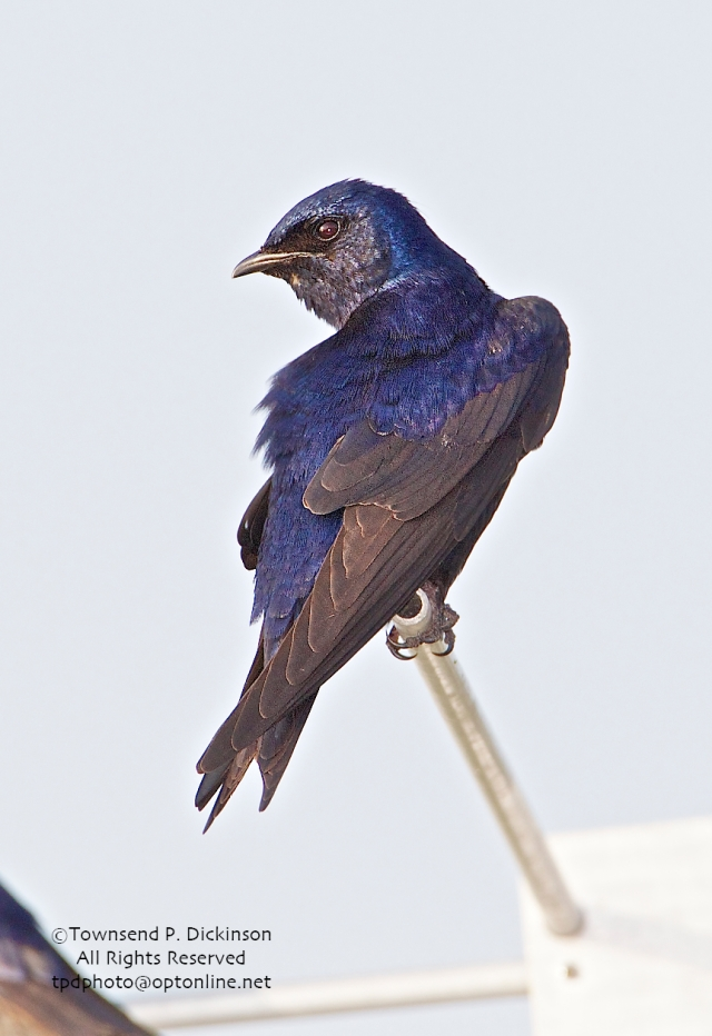 Purple Martin, male, at nest site colony, spring, Connecticut Audubon Society Coastal Center, Milford Point, CT. ©Townsend Dickinson. All Rights Reserved.