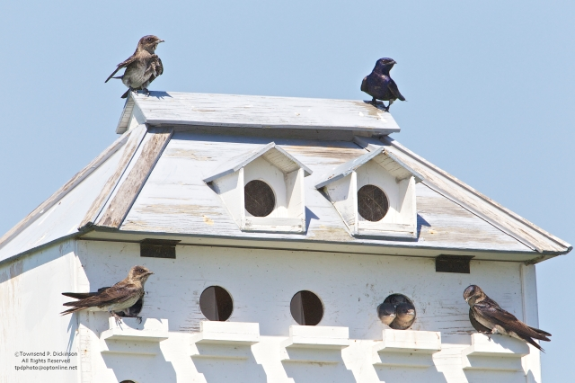 Purple Martins on nest box, Connecticut Audubon Society Coastal Center, Milford Point, CT. ©Townsend Dickinson. All Rights Reserved.