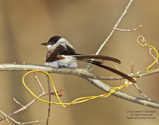 Fork-tailed Flycather, vagrant, late fall, Hadlyme, CT. ©Townsend P. Dickinson. All Rights Reserved.