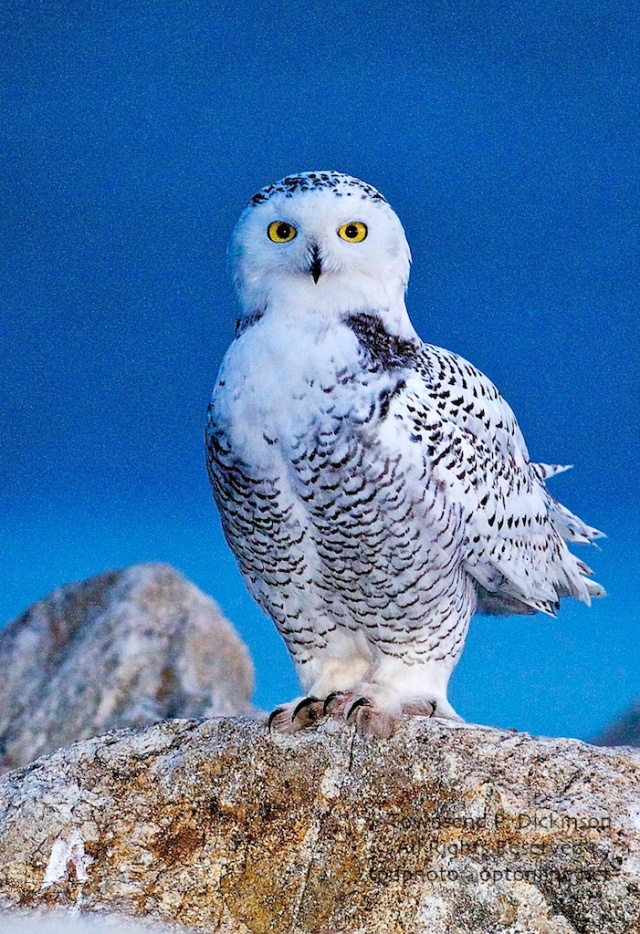 Snowy Owl, 1st year male, on jetty, late afternoon, 11/11/2008, Calf Pasture Beach, Norwalk, CT. ©Townsend P. Dickinson. All Rights Reserved.