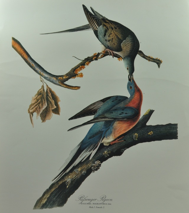 "John James Audubon's portrait of a male and female passenger pigeon is the best know of any for the species. His classic The birds of America included 435 hand-collored plates and was released in four volumes between 1827 and 1838. These were accompanied by five volumes of text entitled Ornithological Biography. (From the collection of Garrie Landry). Courtesty of Bloomsbury USA, New York Publisher. Joel Greenberg, author talk on ""A Feathered River across the Sky. The Passenger Pigeon's Flight To Extinction"" at Yale School of Forestry & Environmental Studies. New Haven, CT. March 12, 2014. ©Mardi Welch Dickinson/KymryGroup."