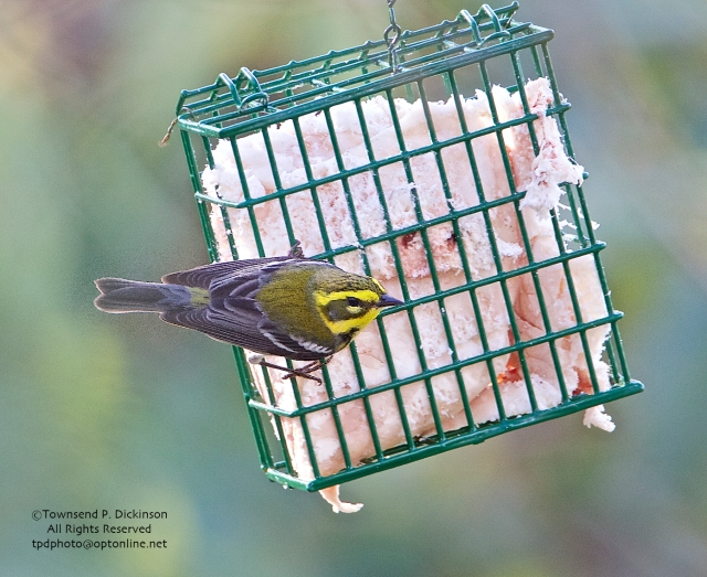 Townsend's Warbler, young male, early winter, Massachusetts Audubon Society, Marblehead Neck Wildlife Sanctuary, MA on December 26,2014. ©Townsend P. Dickinson. All Rights Reserved.