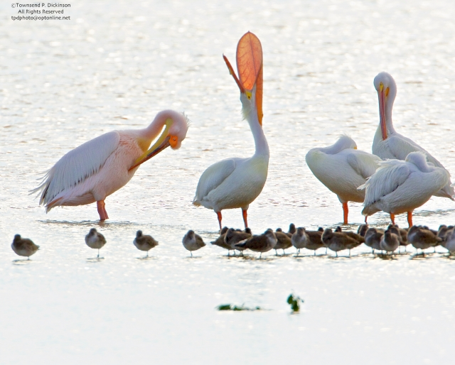 Great White Pelican on left (from Africa) with American White Pelicans, one doing head toss, pouch display, roosting, Ding Darling NWR, Sanibel, Florida. ©Townsend P. Dickinson All Rights Reserved. Photo may not be used without written permission.