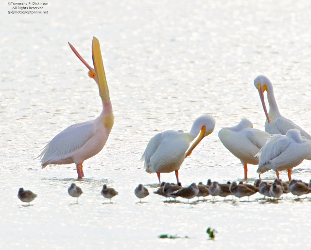 Great White Pelican on loft (from Africa) doing head toss, pouch display with American White Pelicans, roosting, Ding Darling NWR, Sanibel, Florida.©Townsend P. Dickinson All Rights Reserved. Photo may not be used without written permission.
