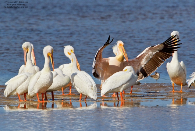 Great White Pelican on left flaps wings (from Africa) with American White Pelicans, roosting, Ding Darling NWR, Sanibel, Florida. ©Townsend P. Dickinson All Rights Reserved. Photo may not be used without written permission.
