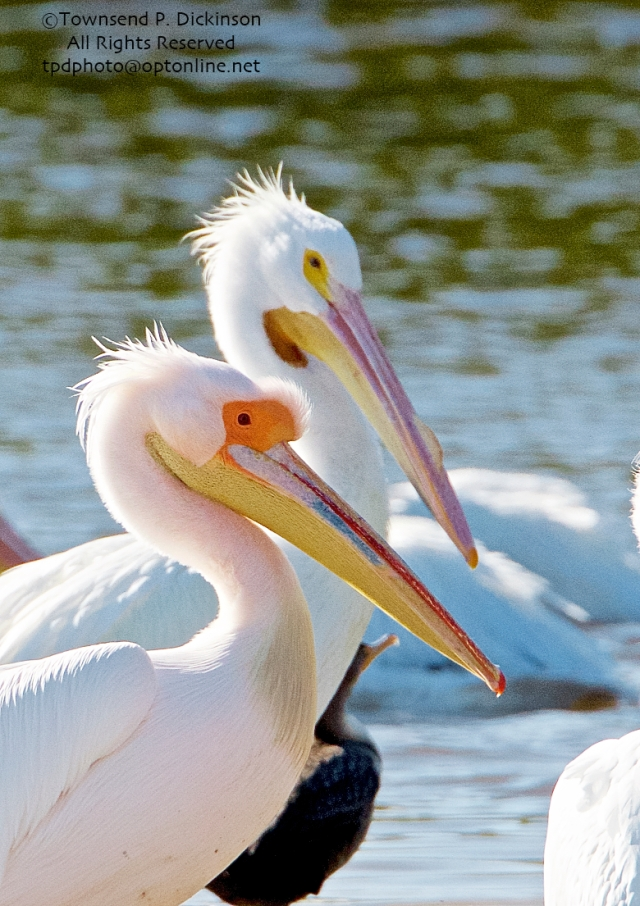 Great White Pelican, (probable female in breeding plumage, extralimital), with American Pelican in back, Ding Darling NWR, Sanibel Island, Florida. ©Townsend P. Dickinson All Rights Reserved.