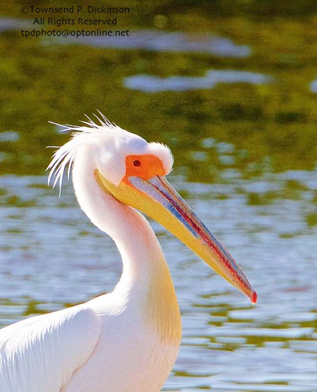 Great White Pelican, (probable female in breeding plumage), extralimital, with American Pelicans, Ding Darling NWR, Sanibel Island, Florida. ©Townsend P. Dickinson. All Rights Reserved. Photo may not be used without written permission.